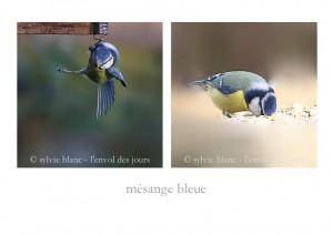 mésange bleue 1