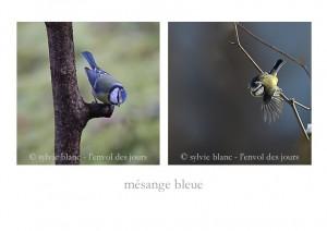 mésange bleue 3